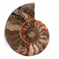 Fóssil de amonita