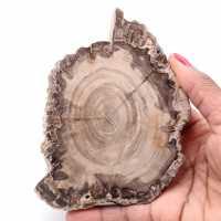 Fatia de madeira fóssil petrificada