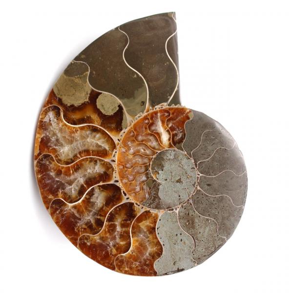 Fóssil de amonita polida e polida