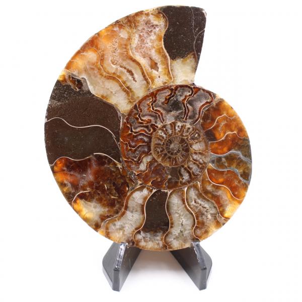 Fóssil de amonita polida