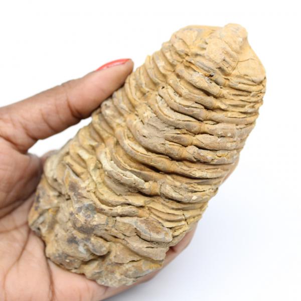 Trilobita fóssil