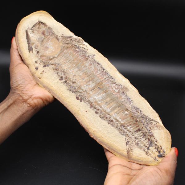 Grande fóssil de peixe